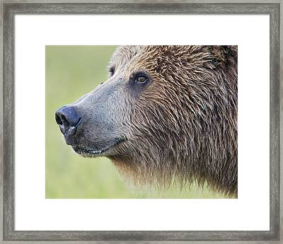 Grizzly Bear Lake Clark Np Alaska Framed Print