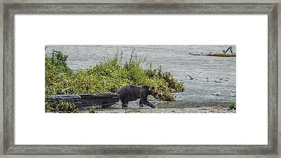 Grizzly Bear Late September 4 Framed Print