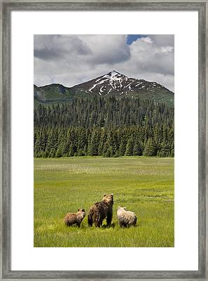 Grizzly Bear Mother And Cubs In Meadow Framed Print