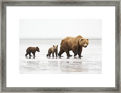 Grizzly Bear Mother And Cubs Lake Clark Framed Print