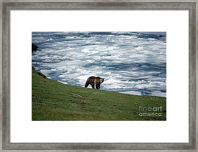 Framed Print featuring the photograph Grizzly Bear On Frozen Lake Yellowstone by Shawn O'Brien