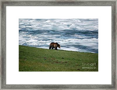 Framed Print featuring the photograph Grizzly Bear On The Shoreline Of Frozen Lake Yellowstone by Shawn O'Brien