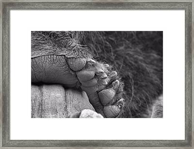 Grizzly Bear Paw Black And White Framed Print by Dan Sproul