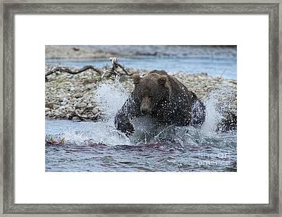 Brown Bear Pouncing On Salmon Framed Print by Dan Friend