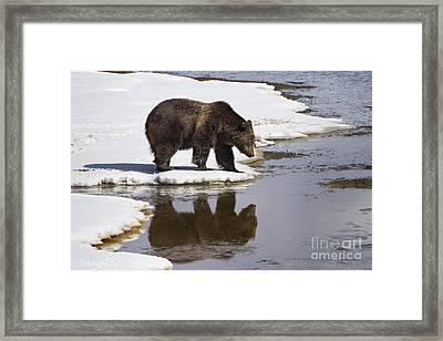 Grizzly Bear Reflected In Water Framed Print by Mike Cavaroc