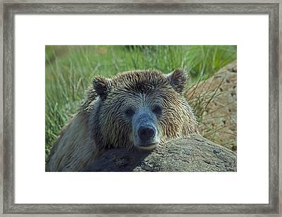 Grizzly Bear Resting Framed Print by Garry Gay