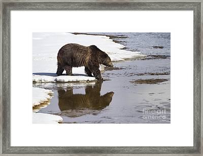 Grizzly Bear Stepping Into Water Framed Print by Mike Cavaroc