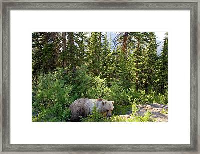 Grizzly Bear (ursus Arctos Horribilis Framed Print by Peter Adams