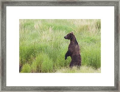 Grizzly Bear Ursus Arctos Standing Framed Print by Lucas Payne