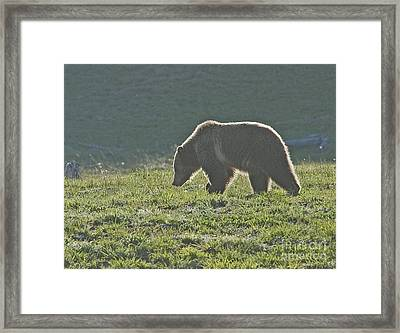 Grizzly Bear With Aura Framed Print by Bob Dowling