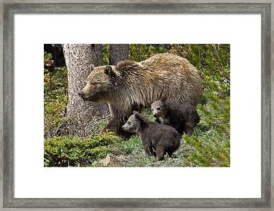 Grizzly Bear With Cubs Framed Print by Jack Bell