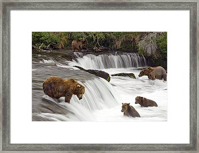 Grizzly Bears Fish At Brooks Falls In Framed Print by Chris Miller