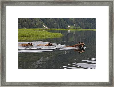 Grizzly Bears Swimming Framed Print by M. Watson