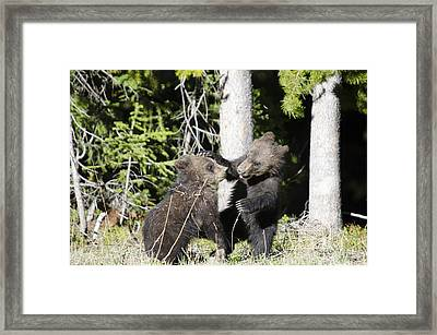 Grizzly Cubs Playing Framed Print