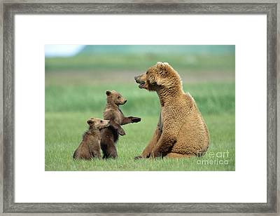 Grizzly Cubs Trying To Play With Mother Framed Print by Yva Momatiuk and John Eastcott