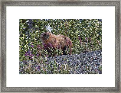 Grizzly Framed Print by David Gleeson