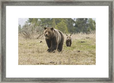 Grizzly Family At Fishing Bridge Framed Print by Bob Dowling