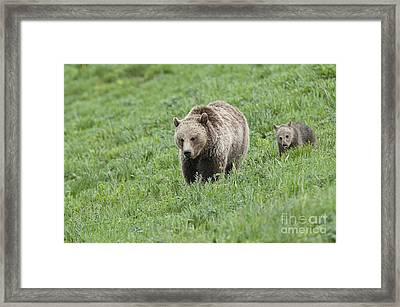 Grizzly Family On Dunraven Framed Print by Bob Dowling