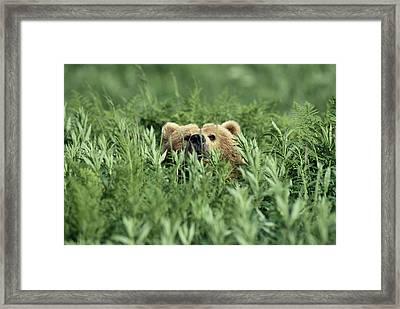 Grizzly Hidden In Ferns Near Karluk Framed Print