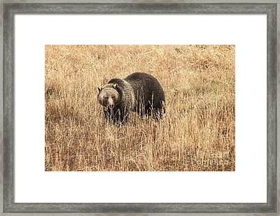Grizzly In Autumn Meadow Framed Print by Bob Dowling