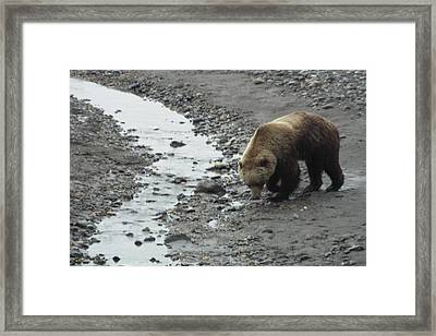 Grizzly In Denali Framed Print