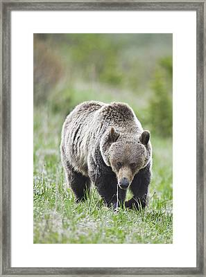 Grizzly Looking For Flowers To Eat Framed Print