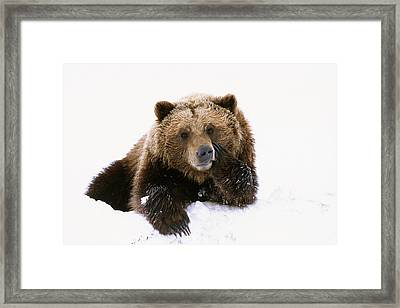 Grizzly Resting Head On Paw While Framed Print