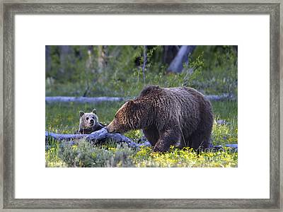 Grizzly Sow And Cub Framed Print