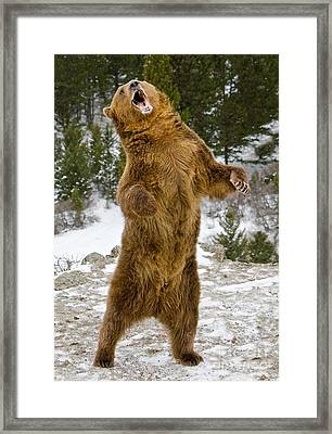 Grizzly Standing Framed Print by Jerry Fornarotto