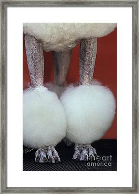 Groomed Poodle Legs Framed Print by Ron Sanford