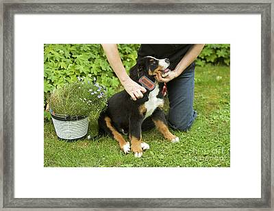Grooming Bernese Mountain Puppy Framed Print by Jean-Michel Labat