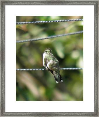 Framed Print featuring the photograph Grooming Hummer by Nick Kirby