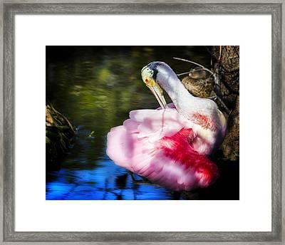 Preening Spoonbill Framed Print by Mark Andrew Thomas