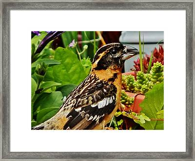 Framed Print featuring the photograph Grosbeak Profile by VLee Watson
