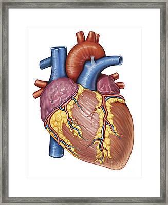 Gross Anatomy Of The Human Heart Framed Print