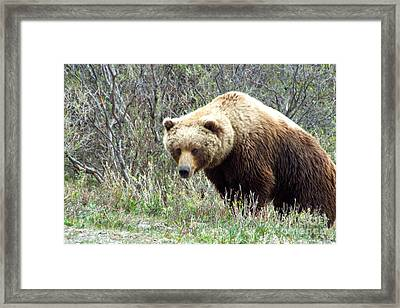 Grouchy Grizzly Framed Print
