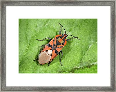 Ground Bug Lygaeus Saxatilis Framed Print by Nigel Downer