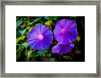Ground Morning Glory Singapore Flower Framed Print by Donald Chen