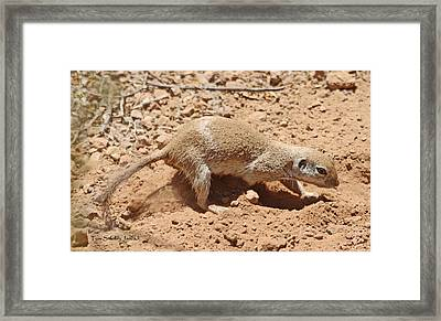 Ground Squirrel Digging A Hole In The Hot Desert Framed Print by Tom Janca