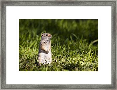 Ground Squirrel Standing In Grass Framed Print