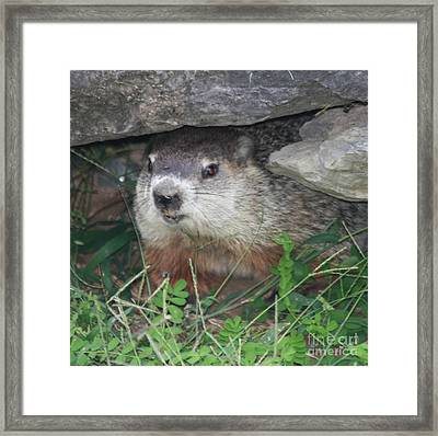 Groundhog Hiding In His Cave Framed Print