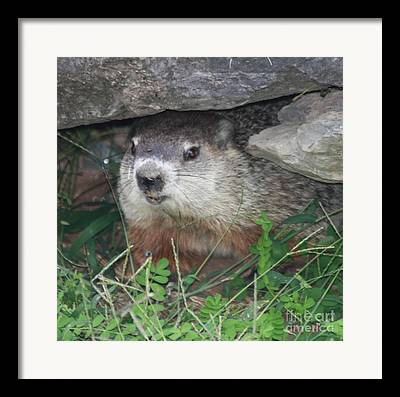 Groundhog Hiding Framed Prints
