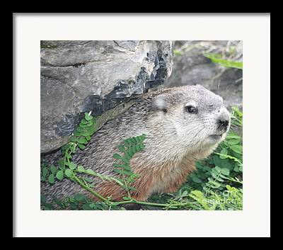 Brown White And Gray Colored Fur On Groundhog Hiding Under Rocks In East Framed Prints