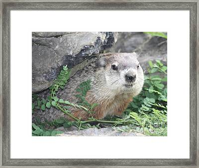 Groundhog Making Sure It Is Safe Framed Print by John Telfer