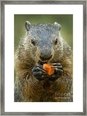 Groundhogs Favorite Snack Framed Print