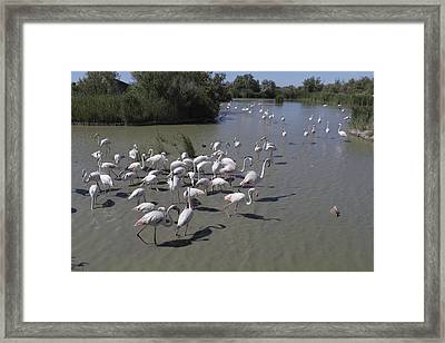 Group Flamingos In A Lake In France Framed Print by Ronald Jansen