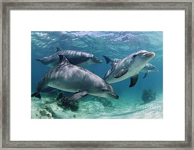 Group Of Bottlenose Dolphins Underwater Photograph Framed Print by Brandon Cole