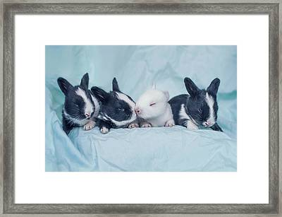 Group Of Four Newborn Baby Bunnies Framed Print by Ashraful Arefin Photography