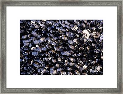 Group Of Mussels Close Up Framed Print