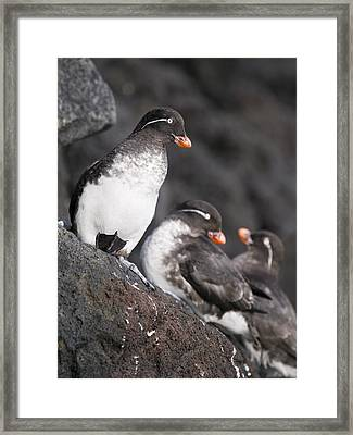 Group Of Parakeet Auklets, St. Paul Framed Print by John Gibbens